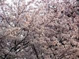 yumemi_sakura