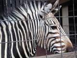 yumemi_zebra